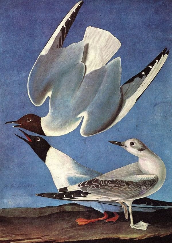 Audubon, John James: Bonaparte's Gull. Ornithology Fine Art Print/Poster. Sizes: A4/A3/A2/A1 (001014)